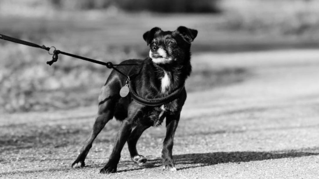 dog-leash-pulling